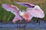 Roseate Spoonbills, Platalea Ajaja, Landing on Lake Corpus Christi Photographic Print by Karine Aigner