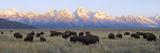A Large Herd of Bison Moves across the Open Range of the Tetons Fotografisk trykk av Barrett Hedges