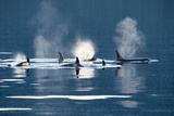 Killer Whales, or Orcas Swimming in Frederick Sound, Inside Passage, Alaska Fotografisk trykk av Michael Melford
