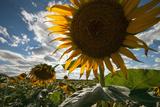 A Large Sunflower Stands Above the Rest in a Large Field Fotografie-Druck von Eric Kruszewski