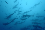 Silhouetted Scalloped Hammerhead Sharks Swimming Among Smaller Fish Reproduction photographique Premium par Jeff Wildermuth