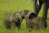 Two Elephant Calves Playing Between the Herd, Botswana Fotografisk trykk av Beverly Joubert
