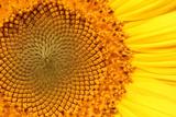 Close Up of a Brilliantly Colored Sunflower, Helianthus Annuus Fotografie-Druck von Joe Petersburger