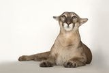 A Florida Panther, Puma Concolor Coryi, at Tampa's Lowry Park Zoo Photographic Print by Joel Sartore