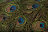 The Tail Feathers of an Indian Peafowl  Pavo Cristatus  at the Lincoln Children's Zoo