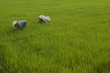 Tending Rice Fields around Phong Triu in the Danang Area of Vietnam Fotografisk tryk af Karen Kasmauski