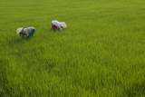 Tending Rice Fields around Phong Triu in the Danang Area of Vietnam Photographic Print by Karen Kasmauski