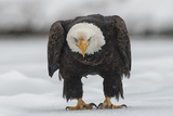 Portrait of an American Bald Eagle on the Ground During a Snow Shower Photographic Print by Peter Mather