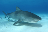 A Remora and Other Small Fish Swimming with a Tiger Shark, Galeocerdo Cuvier Reproduction photographique par Jeff Wildermuth