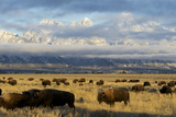 As the Clouds Clear Off the Grand Tetons, a Herd of Bison Graze in a Large Meadow Fotografie-Druck von Barrett Hedges