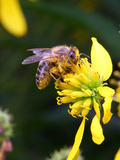 A Non-Native Honey Bee Taking Nectar and Covered with Pollen Grains Photographic Print by George Grall