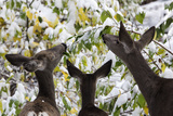 Mule Deer, Odocoileus Hemionus, Browsing on Snow-Covered Shrubs Photographic Print by Marc Moritsch