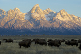 A Herd of Bison Move Through a Field as the Sun Rises on the Grand Tetons Fotografisk tryk af Barrett Hedges