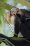 An Adult and Juvenile Brown Capuchin Monkey Fotografisk tryk af Roy Toft