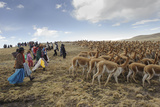 A Line of Quechua Villagers Herd a Group of Wild Vicuna Reproduction photographique par Beth Wald