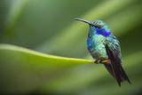 A Perching Green Violet Ear Hummingbird Stampa fotografica di Roy Toft