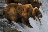 A Brown Bear About to Catch a Jumping Sockeye Salmon Fotografie-Druck von Barrett Hedges
