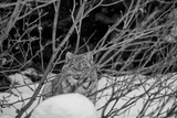 A Canadian Lynx Looking Through Willow Branches Photographic Print by Peter Mather