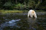 A Kermode or Spirit Bear Fishing for Salmon Fotoprint van Jed Weingarten