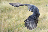 A Great Gray Owl Begins to Turn While in Flight Fotografie-Druck von Barrett Hedges