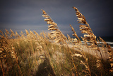Dune Grasses in Cape Hatteras in North Carolina Reproduction photographique par Chris Bickford