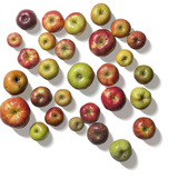 Heirloom Varieties of Apples Photographic Print by Rebecca Hale