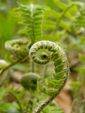 A Fiddlehead Fern Beginning to Uncurl Fotografisk tryk af Amy and Al White and Petteway