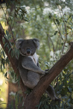 A Federally Threatened Koala at a Wildlife Sanctuary Fotografie-Druck von Joel Sartore