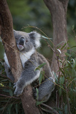 A Federally Threatened Koala at a Wildlife Sanctuary Fotografisk tryk af Joel Sartore