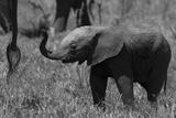 An African Elephant Calf Holding its Trunk Up Fotografisk trykk av Beverly Joubert