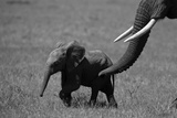 An African Elephant Urging Her Calf on with Her Trunk Trykk på strukket lerret av Beverly Joubert