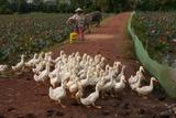 Rural Scenes around Phong Triu in the Danang Area of Vietnam Fotografisk tryk af Karen Kasmauski