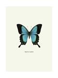 Blue Butterfly Lámina