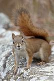 American Red Squirrel (Red Squirrel) (Spruce Squirrel) (Tamiasciurus Hudsonicus) Photographic Print by James Hager