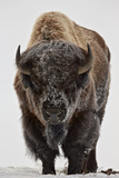 Bison (Bison Bison) Bull Covered with Frost in the Winter Fotografisk tryk af James Hager