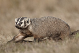 Badger (Taxidea Taxus) Digging Photographic Print by James Hager