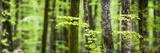 Pine Forest at Lake Bohinj, Triglav National Park, Julian Alps, Slovenia, Europe Photographic Print by Matthew Williams-Ellis