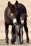 Wild Burro (Donkey) (Equus Asinus (Equus Africanus Asinus) Jenny and Foal Fotografisk tryk af James Hager