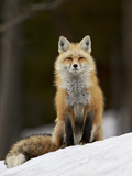 Red Fox (Vulpes Vulpes) (Vulpes Fulva) in the Snow Lámina fotográfica por James Hager