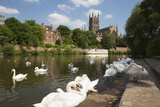 Swans Beside the River Severn and Worcester Cathedral, Worcester, Worcestershire, England Fotografie-Druck von Stuart Black