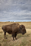 Bison (Bison Bison) Cow, Custer State Park, South Dakota, United States of America, North America Lámina fotográfica por James Hager