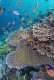 A Profusion of Coral and Reef Fish on Batu Bolong, Komodo Island National Park, Indonesia Reproduction photographique par Michael Nolan