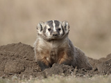 Badger (Taxidea Taxus), Custer State Park, South Dakota, United States of America, North America Photographic Print by James Hager