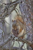 American Red Squirrel (Red Squirrel) (Spruce Squirrel) (Tamiasciurus Hudsonicus) with a Pine Cone Photographic Print by James Hager