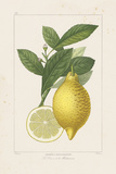 Les Citrons I Giclee Print by A. Poiteau