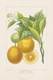 Les Oranges I Giclée-tryk af A. Poiteau