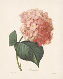 Hortensia Giclée-Druck von Pierre Joseph Redoute