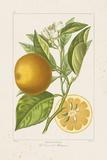 Les Oranges II Giclee Print by A. Poiteau