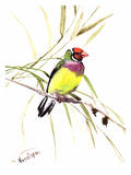Gouldian Finch Prints by Suren Nersisyan