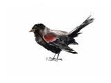 Merle noir à ailes rouges Affiches par Suren Nersisyan